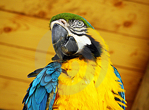 Blue And Yellow Macaw Parrot Royalty Free Stock Photography - Image: 14474847