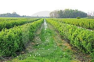 Gooseberry Bush And Dandelions Stock Photo - Image: 14475070