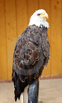 American Bald Eagle Stock Photos - Image: 14475093