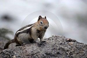 Chipmunk Squirrel Stock Photo - Image: 14481060