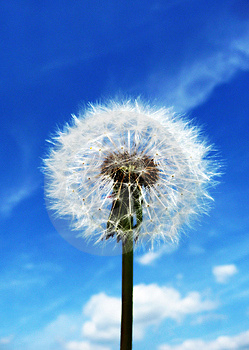 Dandelion Clock Stock Photos - Image: 14483623
