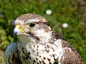 Buzzard Closeup Royalty Free Stock Photography - Image: 14484057