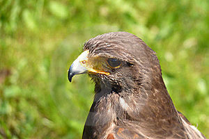 Falcon Royalty Free Stock Photos - Image: 14484098