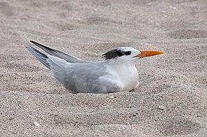 Royal Tern Royalty Free Stock Photography - Image: 14486097