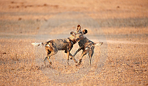African Wild Dogs (Lycaon Pictus) Stock Images - Image: 14489144
