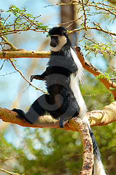 Black-and-white Colobus Monkey Stock Image - Image: 14489181