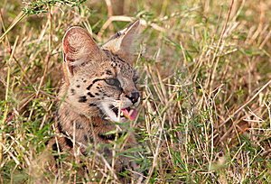 African Serval (Leptailurus Serval) Royalty Free Stock Photography - Image: 14489197