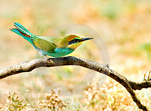 European Bee-eater (Merops Apiaster) Stock Photography - Image: 14491552