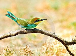 European Bee-eater (Merops Apiaster) Stock Photography - Image: 14491552