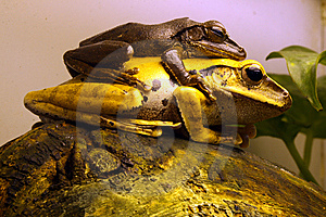 Frogs Royalty Free Stock Image - Image: 14491966