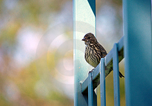 Red-Winged Blackbird Royalty Free Stock Photos - Image: 14494698