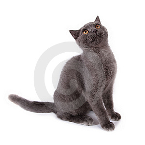 British Kitten Royalty Free Stock Image - Image: 14494766