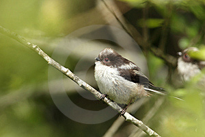 Longtail Tit. Royalty Free Stock Photo - Image: 14495995