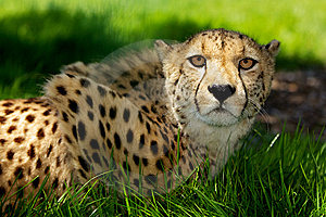 Cheetah Lying In Grass Stock Images - Image: 14502814