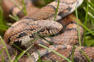 Bull Snake Close-up Stock Photography - Image: 14507052