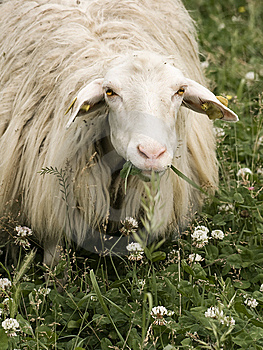 Sheep Staring At The Camera Royalty Free Stock Photos - Image: 14507848