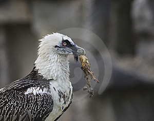 Bearded Vulture Take A Meat Royalty Free Stock Images - Image: 14509609