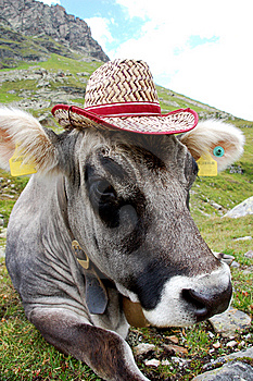 Crazy Cow Royalty Free Stock Images - Image: 14513309