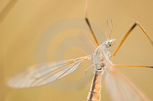 Mosquito Portrait Royalty Free Stock Photo - Image: 14515475