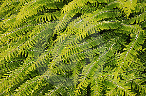 Fern Leaves Royalty Free Stock Photo - Image: 14520375