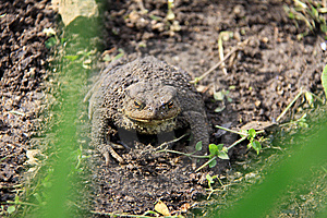 The Brown Toad Royalty Free Stock Photography - Image: 14520807