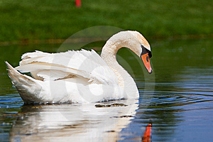 A Beautiful Mute Swan In A Pond Royalty Free Stock Photo - Image: 14520975