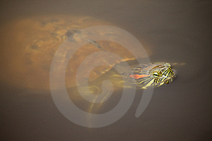 Red Eared Slider Royalty Free Stock Photo - Image: 14521355