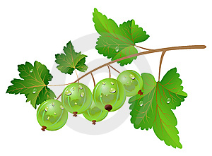 Green Gooseberry Stock Photography - Image: 14521482