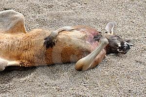 A Supine Australian Kangaroo Royalty Free Stock Photography - Image: 14522757