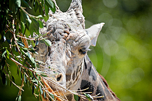 Giraffe Portrait Stock Photos - Image: 14523313