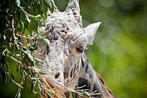 Giraffe Portrait Stock Photos - Image: 14523313