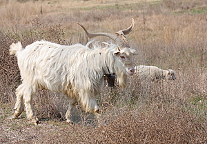 Goat Male Royalty Free Stock Image - Image: 14523636