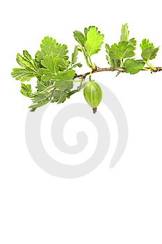 Gooseberry Branch Stock Photography - Image: 14524082