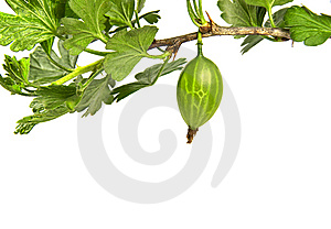 Gooseberry Branch Stock Photos - Image: 14524123