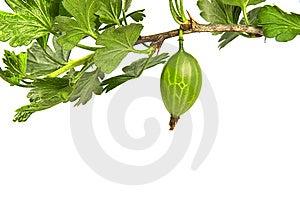 Gooseberry Branch Stock Photos - Image: 14524123