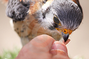 Bird Being Fed Raw Meat Stock Photos - Image: 14529063