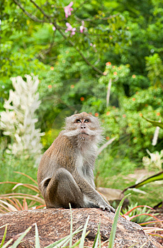 Macaque In The Wild Stock Image - Image: 14530511