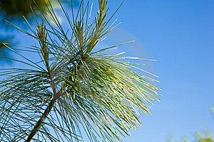 Decorative Pine Royalty Free Stock Image - Image: 14531906