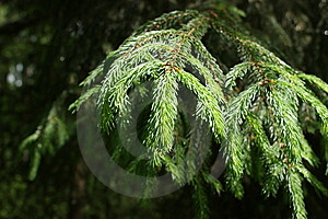 Fir Forest Stock Photos - Image: 14534113