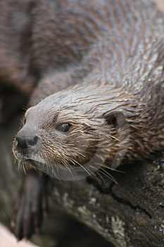 Otter Stock Images - Image: 14534184