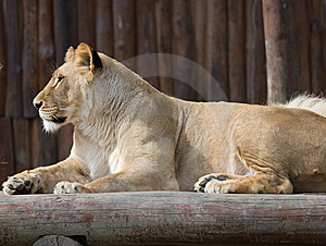 Lion From Profile Royalty Free Stock Photo - Image: 14536845