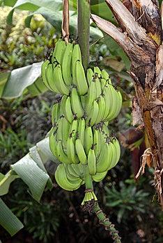 Bunch Of Bananas Stock Photo - Image: 14539130