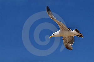 Southern Black-Backed Seagull, New Zealand Stock Photo - Image: 14540740