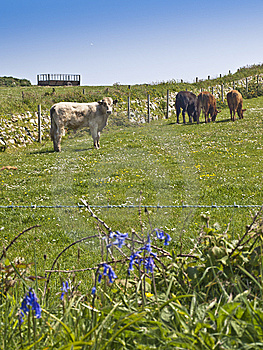 Farm Cows Cattle Grazing In Meadow Stock Image - Image: 14544901
