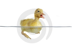 Nestling Of Duck Royalty Free Stock Images - Image: 14544969