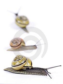 White-lipped Snails Royalty Free Stock Image - Image: 14545296