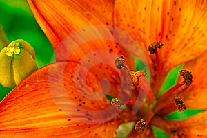 Orange Asian Lily Stock Photo - Image: 14546460