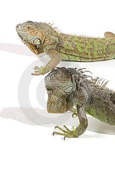 Iguana With Big Beard Stock Images - Image: 14548564