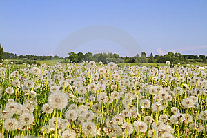 Field Of Dandelions Stock Photos - Image: 14550193