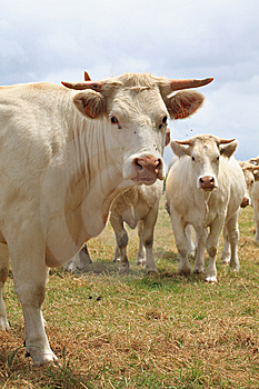 Blondes D'Aquitaine Cows Stock Photos - Image: 14550213